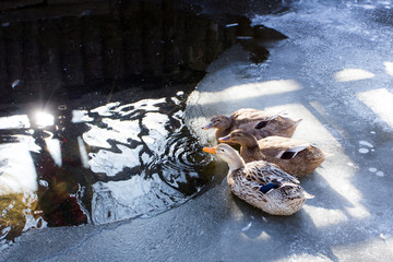 Three ducks drinking frozen rivers and water