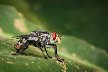 Image of a flies (Diptera) on green leaves. Insect. Animal