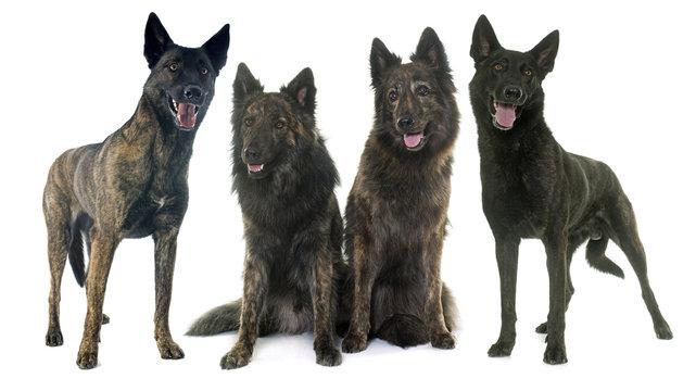 four Dutch shepherds