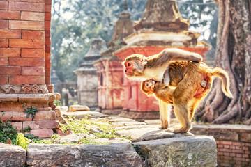 Wall Murals Nepal Rhesus Macaques, Pashupatinath, Kathmandu, Nepal