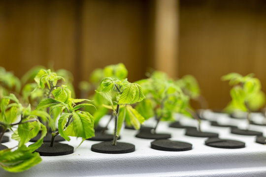 Medical cannabis grown from seed at a grow operation for patients.