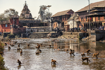 Photo sur Aluminium Népal Rhesus Macaques in Bagmati River, Pashupatinath, Kathmandu, Nepal