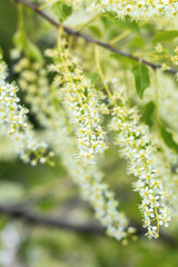 Beautiful spring scene with many little flowers. Cherry bird-cherry tree blossom. Toned photo. Shallow depth of the field.
