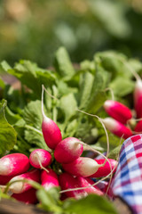 Bunch of fresh radishes in a wooden box outdoors on the table. Bunch of fresh radishes in a wooden box outdoors on the table