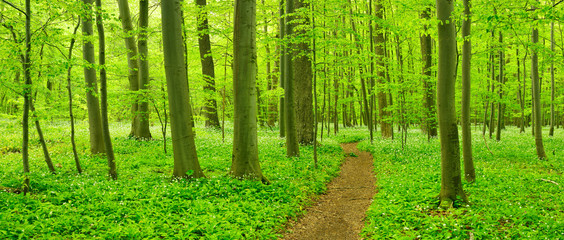 Wanderweg schlängelt sich durch Buchenwald im zeitigen Frühjahr, frisches Grün, blühender Bärlauch