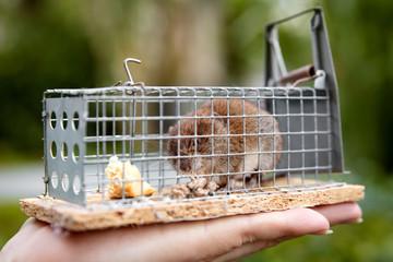 Hand hält eine Lebendfalle, kleine Maus ist darin gefangen