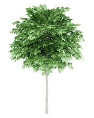 norway maple tree isolated on white background