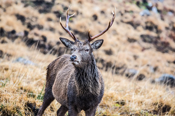 Male stag standing looking at the camera