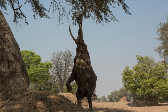 African elephant (Loxodonta africana) on hind legs feeding on tree branch, Chirundu, Zimbabwe, Africa