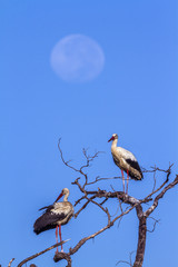 White Stork in Kruger National park, South Africa
