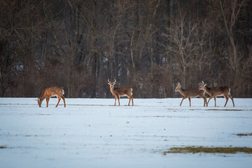 Group of young deer in the forest