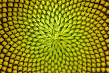 Spiral pattern in the center of beautiful sunflower close up showing neatly and methodically arrangement of nature creation in shallow depth-of-field.