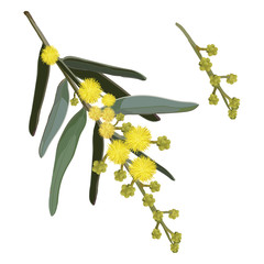 Yellow Wattle Vector Illustration on White Background