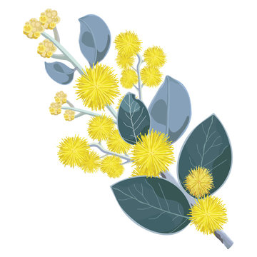 Australian Wattle Flower close up Vector
