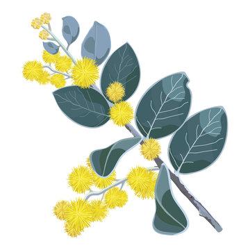 Golden flowering Wattletree Vector Illustration