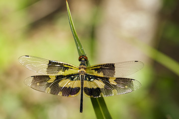Image of a Variegated Flutterer Dragonfly (Rhyothemis variegata) on nature background. Insect Animal