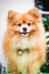 Cute pomeranian dog, puppy.