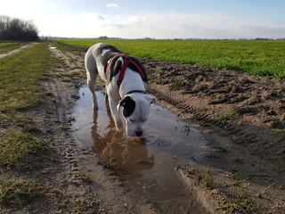 Hund trinkt aus der Pfütze