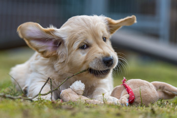 Golden Retriever puppy is lying in the garden with a small wooden stick in his mouth and shaking his head.