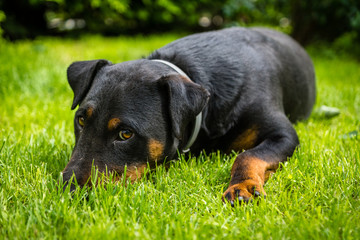 German hunting terrier lying on the grass