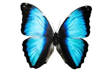 бабочка синего цвета Mariposa Morpho изолировано на белом