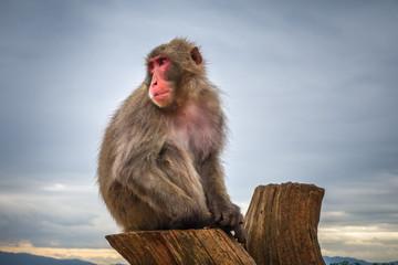 Japanese macaque on a trunk, Iwatayama monkey park, Kyoto, Japan