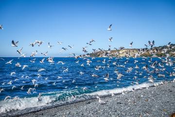 Seagulls on Kaikoura beach, New Zealand
