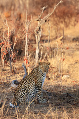 The African leopard (Panthera pardus pardus) big male in the last morning light