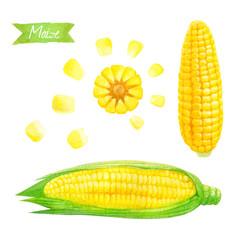 Maize watercolor illustration