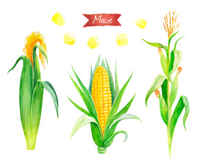 Watercolor illustration of fresh maize plant, ears and seeds isolated on white background with clipping paths