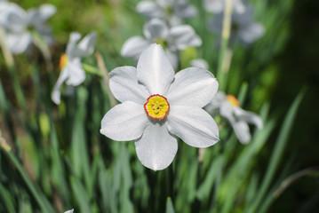 Flowers narcissus white macro photo