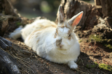 Wild white spotted rabbit lies on the ground between the stumps