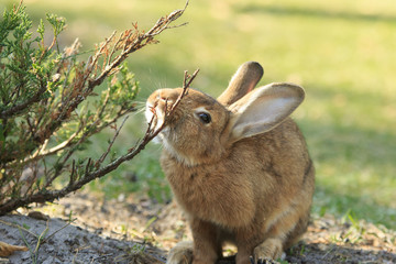 Funny rufous rabbit itches about the bush close-up