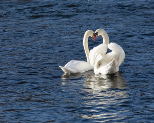 Romantic image of two white swans mating.