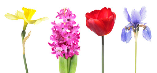 Four species of popular spring bulb flowers isolated on white background