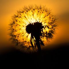 Dandelions w zachodzie słońca
