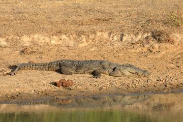 Krokodile im Yala Nationalpark in Sri Lanka