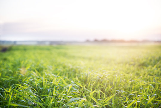Sunset on the green field planted agriculture