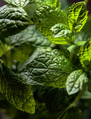 Bunch of fresh  organic mint leaf closeup.