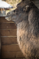portrait of dromadery camel head face