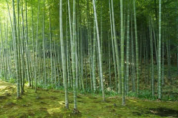 Deurstickers Bamboo Bamboo forest at Kyoto, Japan