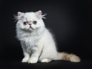 Persian cat / kitten sitting sideways isolated on black background looking straight in camera