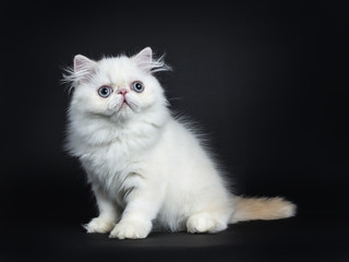 Persian cat / kitten sitting sideways isolated on black background looking up