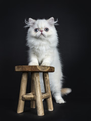 Persian cat / kitten standing up on a wooden stool isolated on black background looking  in camera