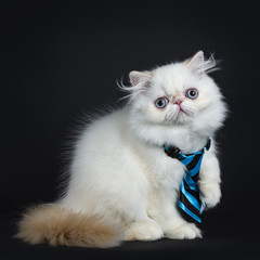 Persian cat / kitten sitting sideways isolated on black background looking straight in camera wearing a blue and black tie
