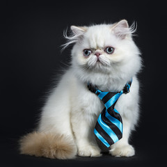 Persian cat / kitten sitting sideways isolated on black background looking to the side in camera wearing a blue and black tie