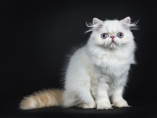 Persian cat / kitten sitting straight up sideways isolated on black background looking straight in camera