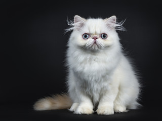 Persian cat / kitten front forward isolated on black background right from the camera