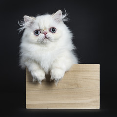 Persian cat / kitten standing in wooden box isolated on black background looking straight in camera with paws hanging over edge of box