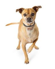 Chihuahua Dog Looking Lifting Paw
